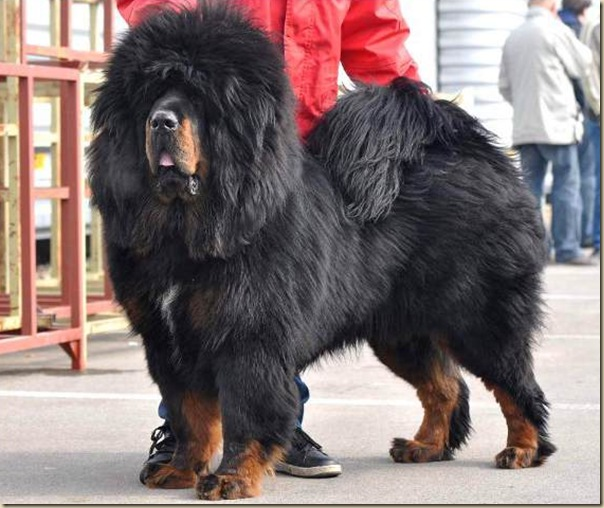 Dogue du Tibet ou Mastiff Tibétain 13
