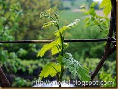 Период распускания почек и интенсивного роста виноградных побегов  1