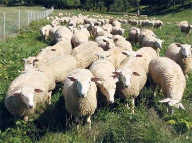 [sheep%255B3%255D.jpg]