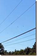 Banana Spiders on Power Lines