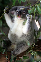 Little bub koala