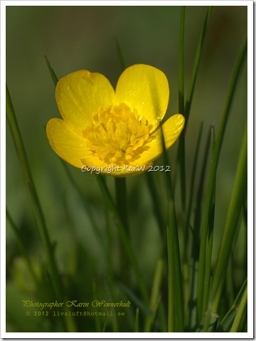 I love the Buttercups in summertime. As a little child we were always picking thoose flowers and let the yellow color from the flower reflectes on our chins.