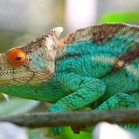Madagascar Chameleon by Marthinus Strydom - Animals Reptiles ( madagascar )