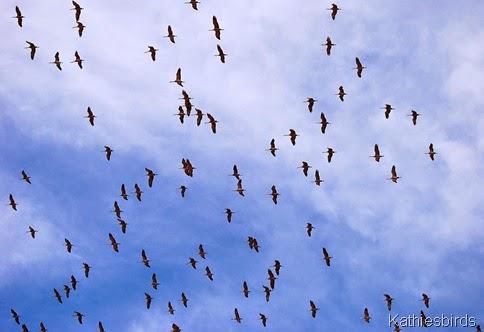 DSC_0635 sandhill cranes whitewater draw-gusto