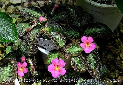 Glória Ishizaka -   Kyoto Botanical Garden 2012 - episcia
