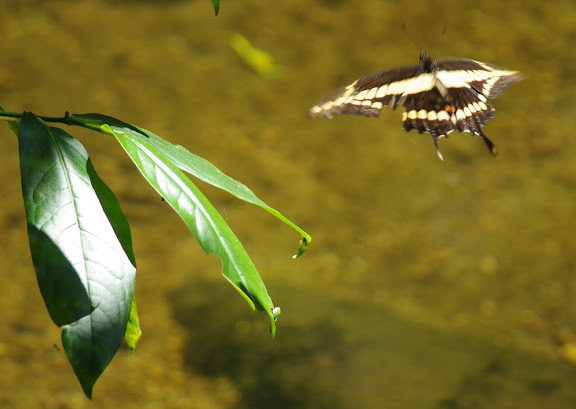 Papilio thoas brasiliensis ROTHSCHILD & JORDAN, 1906, femelle. Rio Cristina, Sertao de Barra do Una (Sao Sebastiao, SP). 22 février 2012. Photo : J.-M. Gayman