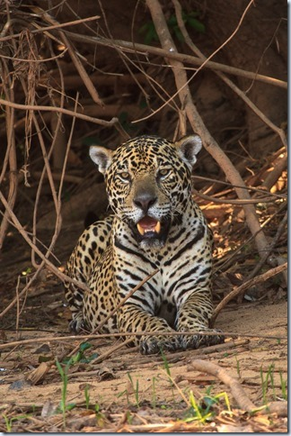 Jaguar-6