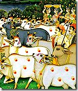 cows in Vrindavana
