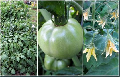 tomato collage2