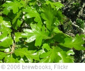 'Quercus garryana (Garry Oak)' photo (c) 2006, brewbooks - license: http://creativecommons.org/licenses/by-sa/2.0/