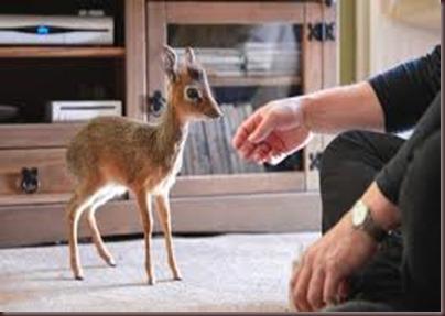 Amazing Pictures of Animals photo Nature, exotic, funny, incredibel Zoo, Dik-dik, antelope. Alex (2)