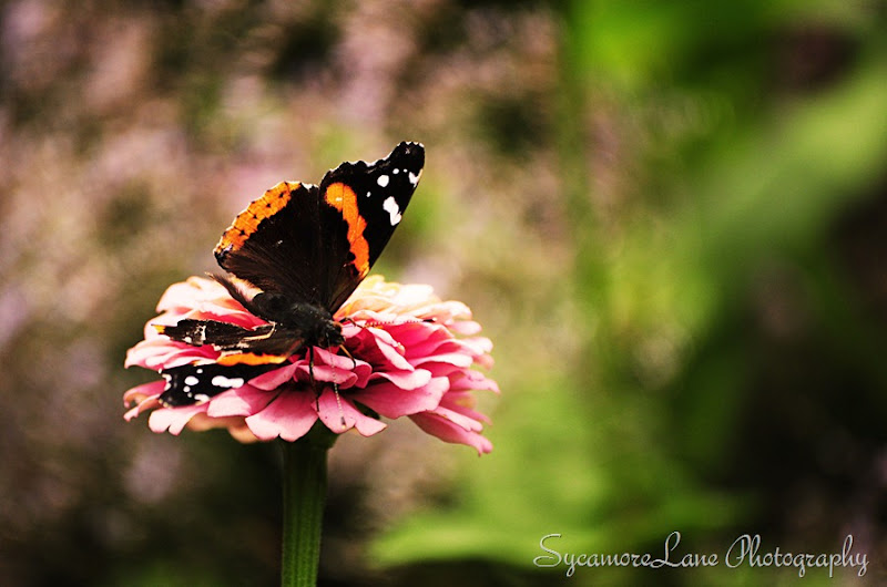 red admiral and zinna