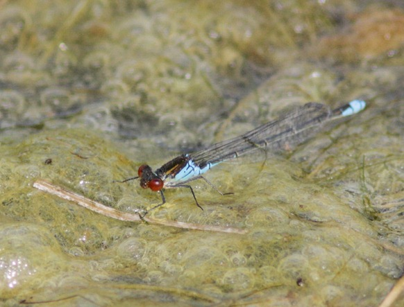 12_08_11_cliffe_small_red_eyed_damselfy_058