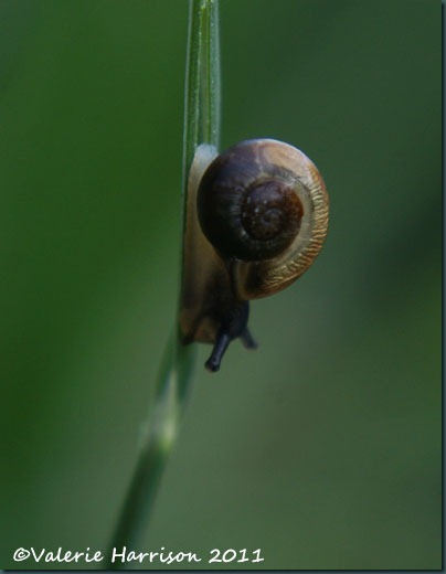 tiny-snail