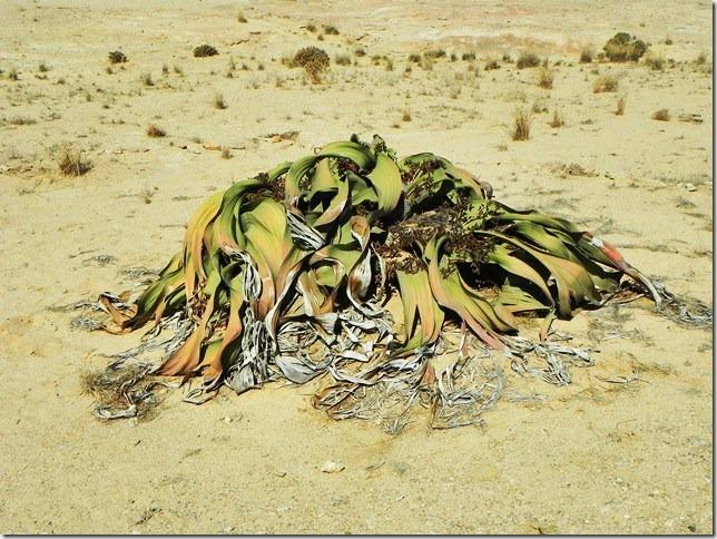 Welwitschia_DSCN6449