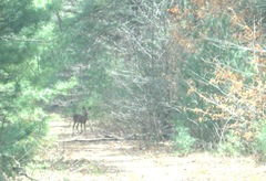 3.12.2012 deer in the woods Cushman St ext
