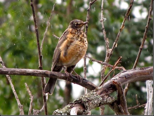 Juvenile Robin in the rain