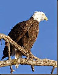 One lone eagle