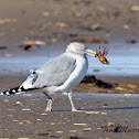 Herring Gull (eating a crab)