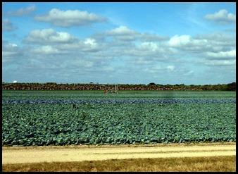 15c-Cabbage