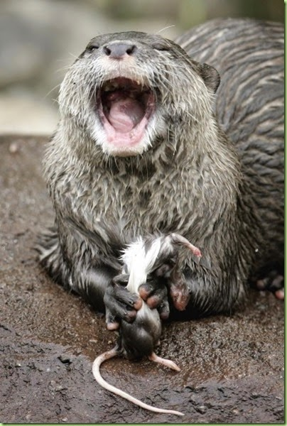 otter eating a mouse