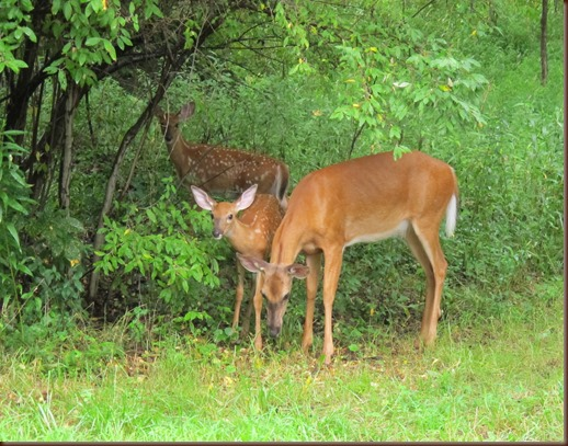 TWO FAWNS AND DOE