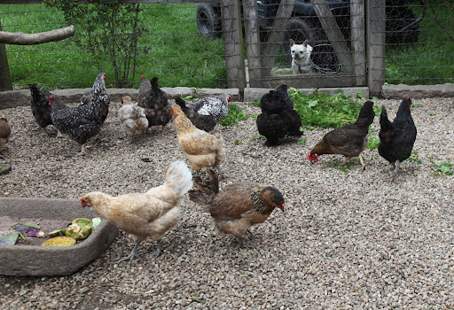 We feed them organic chicken feed so they can get their fill of whole grains, but they also get plenty of fruits and vegetables from the garden.  Foods rich in beta-carotene also affect the color of the yolks, making them deep yellow.