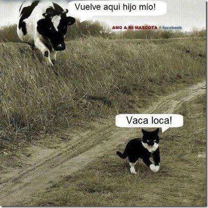 vacas loca