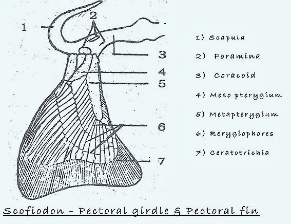 pectoral-girdle-fish