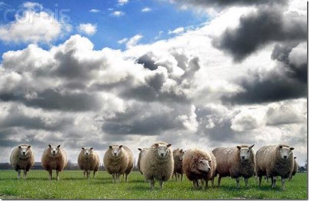 Ovelhas Pastando (9)