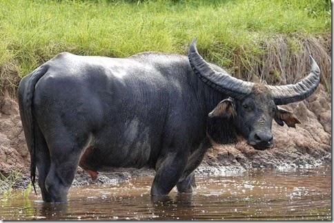 bufalo acuatico, animales extraños, bisotes y bufalos