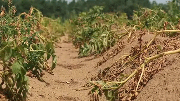 Crops wilt in a field in Canada, 15 July 2012. A lack of rain and extremely hot temperatures badly affecting crops mean that Canadian consumers will likely be paying more for their produce. CBC