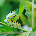Eastern Black Swallowtail Caterpillar