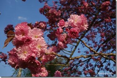 八重桜カンザン