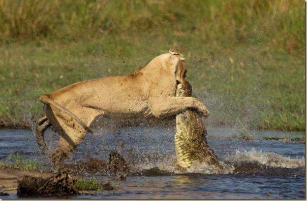 Le courage exeptionnel d'une lionne (4)