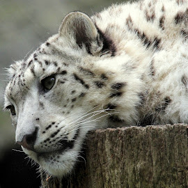 Snow Leopard by Ralph Harvey - Animals Lions, Tigers & Big Cats ( wildlife, anmal, ralph harvey, marwell zoo, snow leopard )