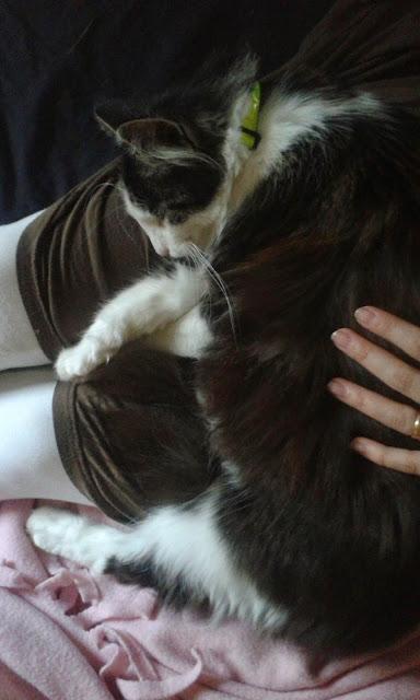 Fluffis, katt, Sösdala, Ska få kattungar.