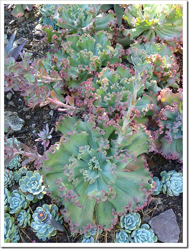 111008_rbg_echeveria_lace