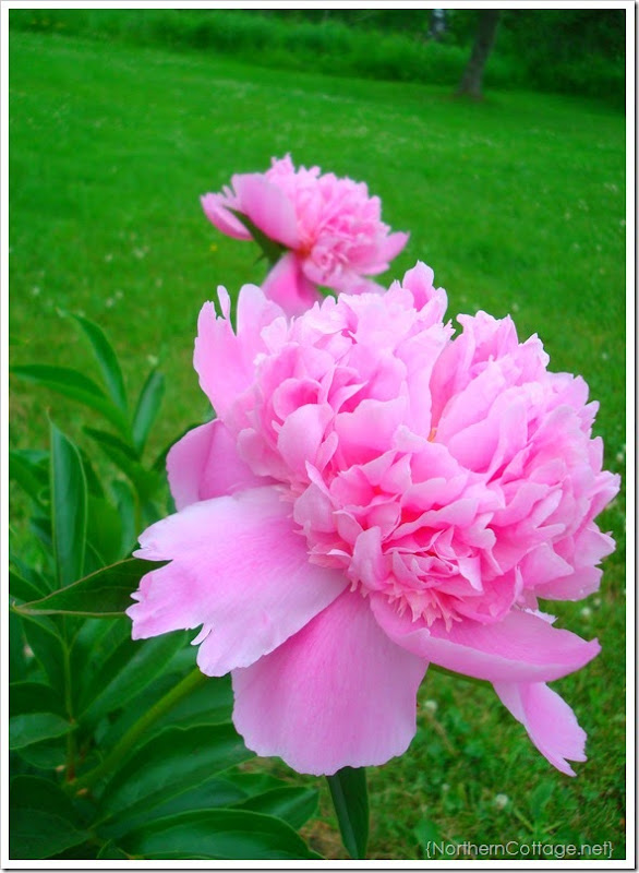 {Northern Cottage} Peony bloom