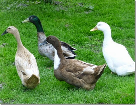 230514_ducks2