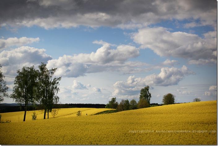 rzepakowe pola (13)