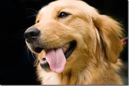 iperplasia prostatica benigna cane 2