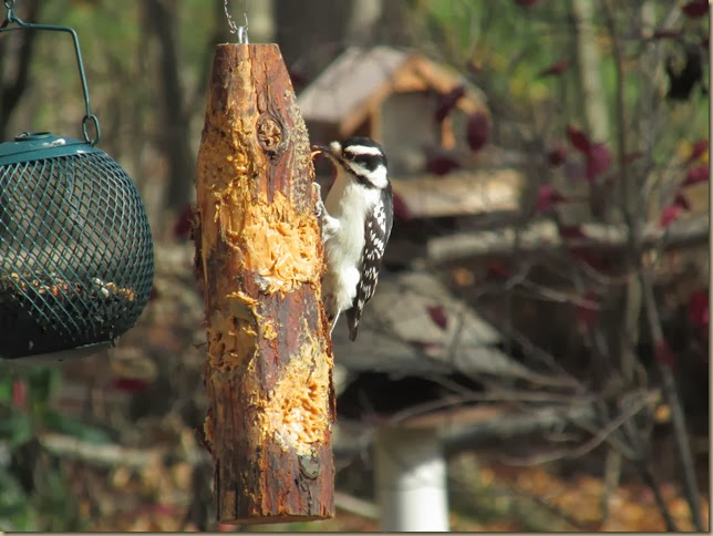 downy woodpecker enjoying peanut butter log