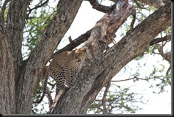 October 20, 2012 leopard climbing tree