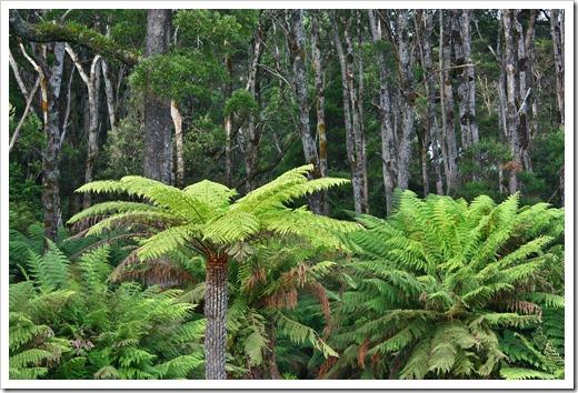 100104-Sarah-Island,-Tasmania,-tree-ferns_01
