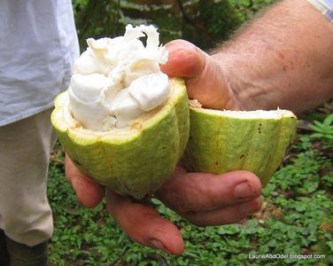 The fleshy cacao pod