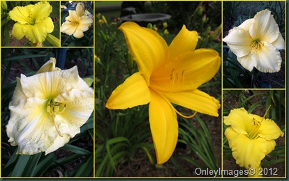 yellow day lily collage