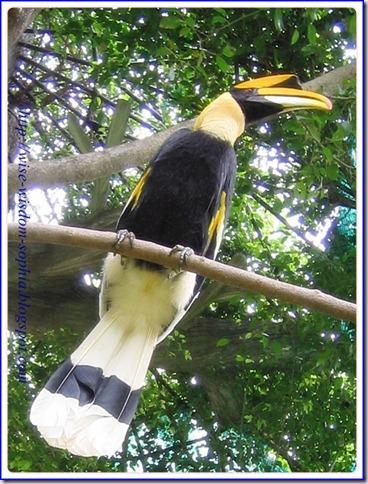 นกกาฮัง ในสวนสัตว์ นครราชสีมา