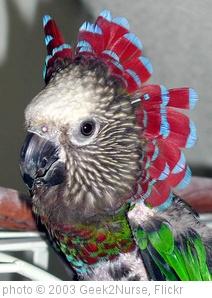 'Radar (Hawkheaded Parrot)' photo (c) 2003, Geek2Nurse - license: http://creativecommons.org/licenses/by/2.0/