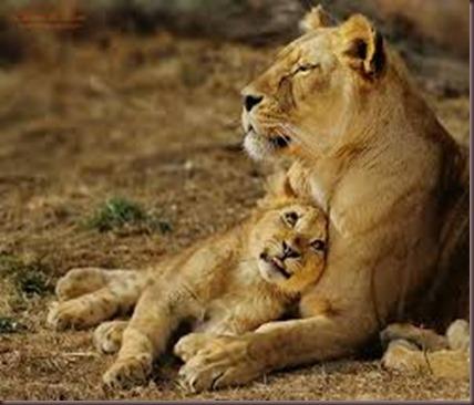 Amazing Animals Pictures Lion  (2)